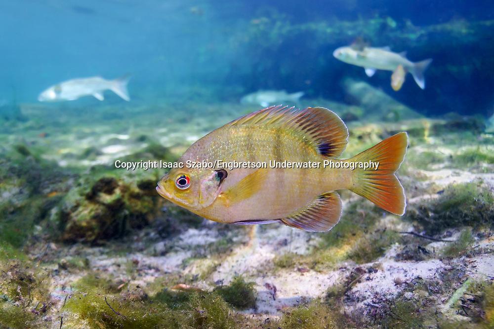 Bluegill (Florida)<br /> <br /> Isaac Szabo/Engbretson Underwater Photography