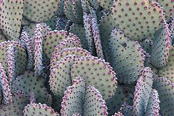 Blind Prickly Pear Cactus (Opuntia rufida), Big Bend National Park, Texas, USA.