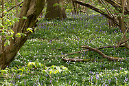 Bluebells and Wood Anenomes carpet the woodland floor in Stoke Wood, Bicester, Oxfordshire.