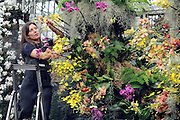 ©London News pictures. 03.02.2011. Tsuyeko Western adds the final orchids to a display in the tropical glasshouse at Kew Gardens today (Thur). The launch of Kew Garden's Tropical Extravaganza. This theme celebrates the fact that 2011 has been designated the Year of the Forest by the UN. It is attempting to celebrate the rainforests' beauty as well as highlight the dangers that they are facing. The display includes varieties of Orchids, Anthuriums, Tillandsias and Aechmeas. Picture Credit should read Stephen Simpson/LNP