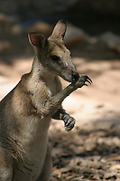 wallaby in captivity