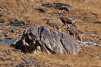 Siberian ibex, Capra sibirica, Tian Shan mountains, Xinjiang, China