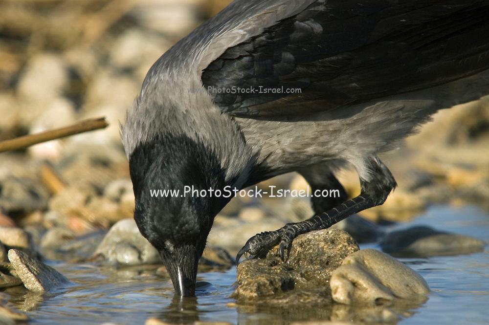 Israel, Coastal Plains, Hooded Crow (Corvus corone cornix) drinking from a water pond