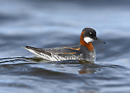 Red-necked Phalarope - Phalaropus lobatus - breeding adult