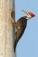 Pileated Woodpecker - Hylatomus pileatus - male