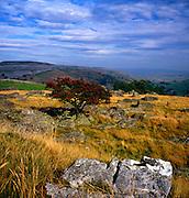 Rowan tree growing on limestone upland, Yorkshire Dales national park, Yorkshire, England