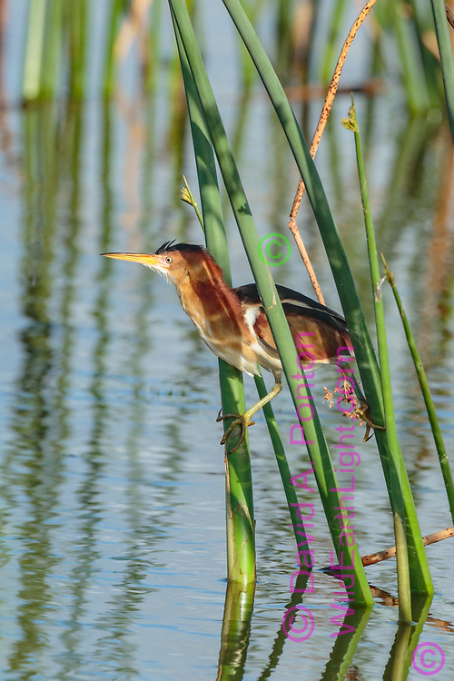 Little bittern is adapted to perch on vertical vegetation in wetlands, such as reeds, FL, © David A. Ponton