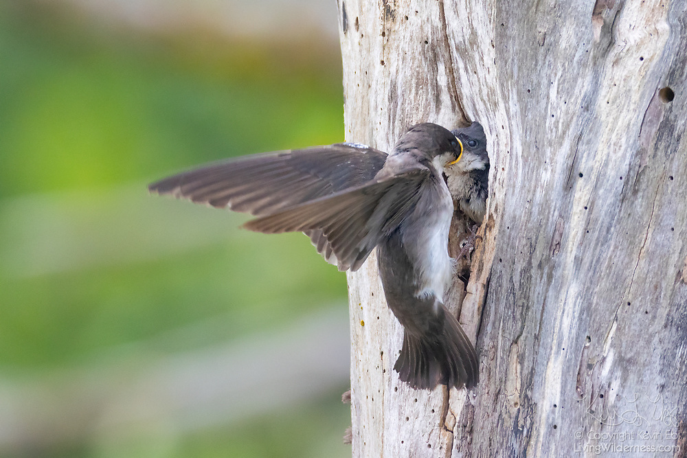 A tree swallow (Tachycineta bicolor) feeds its young chick by depositing insects directly into its mouth at their nest in a snag in the Skagit Wildlife Area in Skagit County, Washington.
