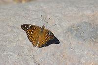 Empress leilia butterfly, Asterocampa leilia. Organ Pipe Cactus National Monument, Arizona.