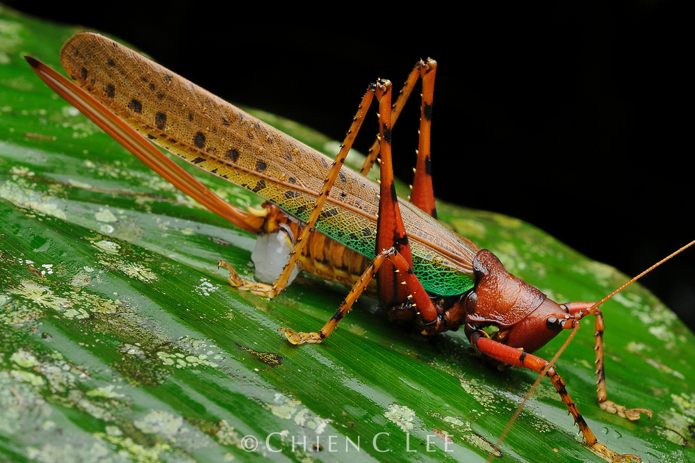 This large female katydid (Eumacroxiphus brachyurus) carries a spermatophore pack near the tip of her abdomen from a recent mating. The formidable-appearing ovipositor will allow her to place her eggs deep in the substrate of her choice. Sarawak, Malaysia (Borneo).