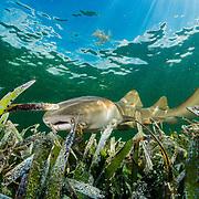 A nurse shark (Ginglymostoma cirratum) hunts in a seagrass (Thalassia testudinum) meadow in the Florida Keys, USA.