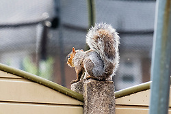 A Grey Squirrel (Scientific name Sciurus Carolinensison) sits frozen like a garden ornament on a fence post during a brief visit to a small Sheffield suburban garden.<br /> <br /> 20 August 2021<br /> <br /> www.pauldaviddrabble.co.uk<br /> All Images Copyright Paul David Drabble - <br /> All rights Reserved - <br /> Moral Rights Asserted -