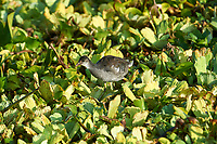 Immature Common American Moorhen searching for food among water hyacinths on Lake Chapala, Jocotopec, Jalisco, Mexico