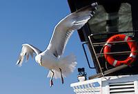 HOLWERD - Meeuw vliegt mee met de veerboot tussen  Holwerd en Ameland. COPYRIGHT KOEN SUYK