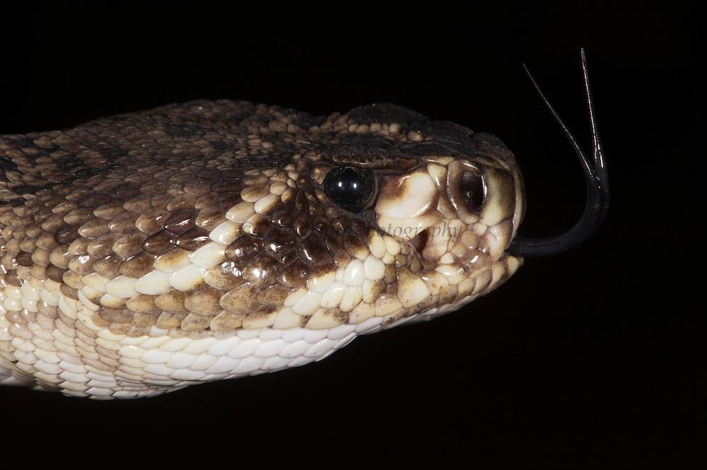 Heat sensory pit of pitviper - below eye<br /> Eastern Diamondback Rattlesnake (Crotalus adamanteus)<br /> CAPTIVE<br /> The Orianne Indigo Snake Preserve<br /> Telfair County. Georgia<br /> USA<br /> RANGE: Southern United States