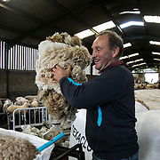 Stewart Runciman has got 750 sheep and sheep shearing season is on. He keeps his sheep and lambs in the fields above Stow in the Scottish Borders but takes them inside at Muir House farm to have their wool cut. Wool and fleeze was never a good business but with COVID-19 the price on wool has dropped and Stewart now loses up to 80p / sheep  but it has to be done for animal welfair reasons. It is Carls' second season as sheep shearer and he and Craig work flat-out.