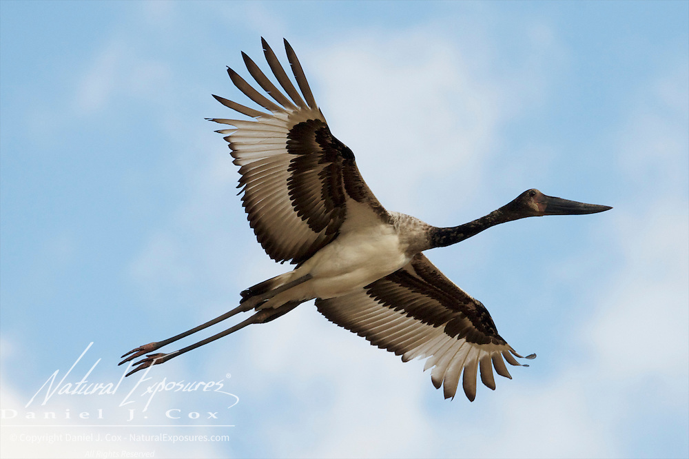 Saddle-billed Stork, immature in flight, Timbavati Game Reserve, South Africa,