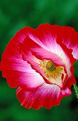 Papaver rhoeas Shirley Series<br /> Corn poppy, Field poppy, Flanders poppy