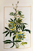 Passiflora caerulea, the blue passionflower 17th century hand painted on Parchment botany study of a from the Jardin du Roi botanical Florilegium of Prince Eugene of Savoy collection, Paris c. 1670 artist: Nicolas Robert