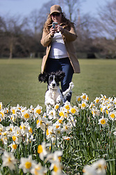 © Licensed to London News Pictures. 27/03/2021. London, UK. A woman films her dog as it searches for a treat in a patch of daffodils a sunny Greenwich Park in South East London. Temperatures are expected to rise with highs of 20 degrees forecasted for parts of the UK next week. Photo credit: George Cracknell Wright/LNP