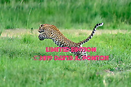 Leopard launches into leap across stream in wetlands along the Chobe River, Chobe National Park, Botswana, © David A. Ponton [LIMITED EDITION PRINTS WILL BE AVAILABLE, other uses are restricted, please contact me for more info.]