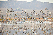 Thousands of birds along the coast of the Salton Sea  Imperial Valley, CA. The sea is part of the migration path called the Pacific flyway.