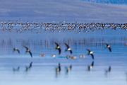 Flock of Wilson's Phalarope showing 'flocking' behavior over Mono Lake.