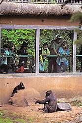 Gorillas & People, Franklin Park Zoo