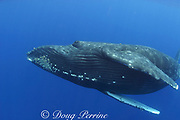 humpback whale, Megaptera novaeangliae, female, with barnacles under chin, Kona, Hawaii; caption must include notice photo was taken under NMFS research permit #587