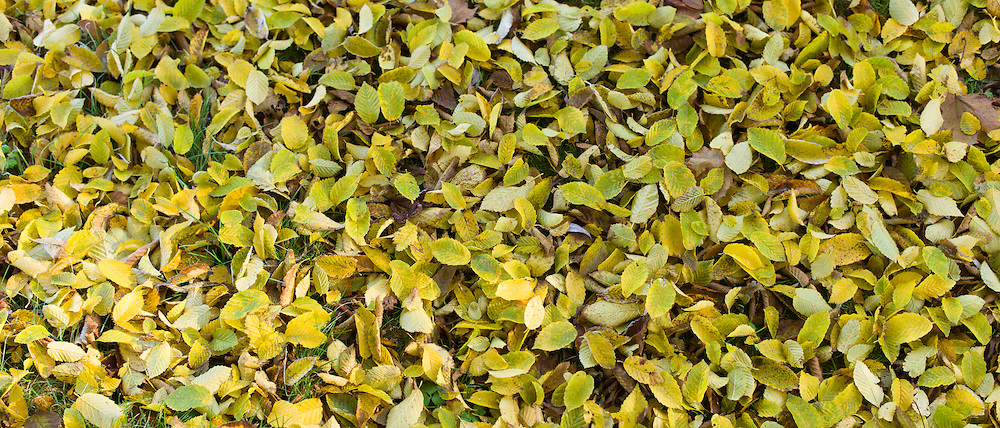 Autumn leaves on forest floor in The Fall including beech leaf in United Kingdom