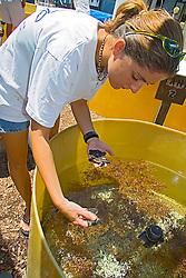 Volunteer gently handling loggerhead turtle hatchlings to feed, Caretta caretta, Marinelife Center, Juno Beach, Florida, Atlantic Ocean (c)