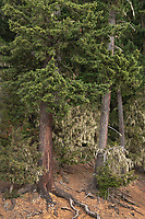 Old Growth Forest Olympic Mountains, Olympic National Park Washington