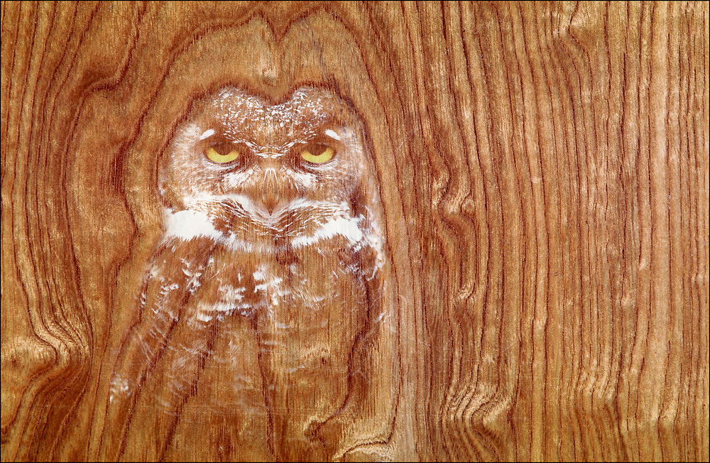 """""""The Owl Spy"""", digital composite created from a photo of a closet door and owl, private residence, Contra Costa County, California, USA"""