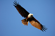 Thursday 14th August 2014: A brahminy kite (Haliastur indus) in flight.