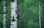 Great gray owl (Strix nebulosa nebulosa) in trembling aspen forest<br />Duck Mountain Provincal Park<br />MAnitoba<br />Canada