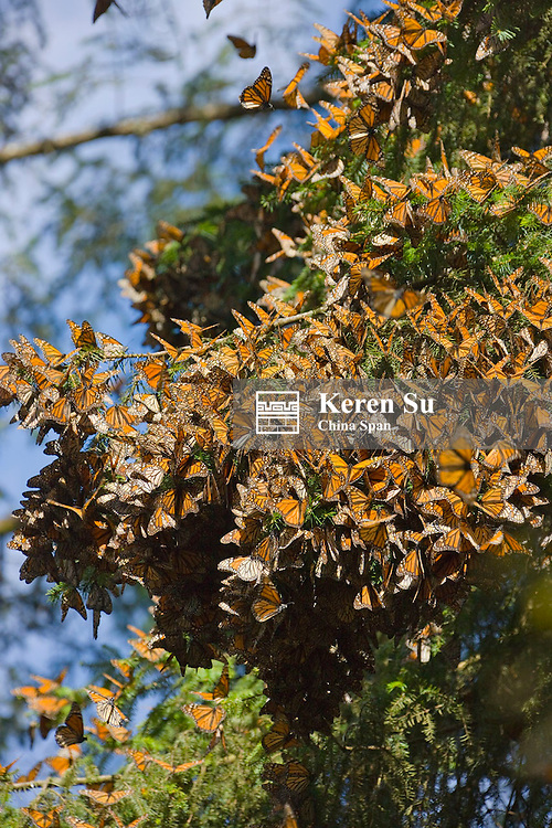 Clusters of Monarch Butterflies on the pine trees, Michoacan, Mexico