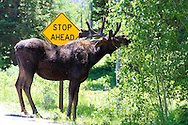 Grand Teton National Park, Wyoming. A large, male Moose stops traffic in Grand Teton national Park, USA