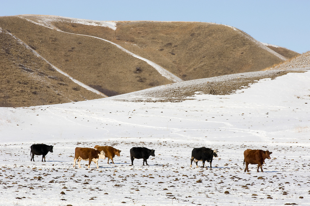 Grazing cattle in Qu'Appelle River Valley, near East End, Saskatchewan, Canada