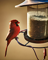 Male Northern Cardinal. Image taken with a Nikon D5 camera and 600 mm f/4 VR lens (ISO 560, 600 mm, f/4, 1/1250 sec)