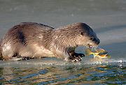 Alaska. Northern River Otter (Lontra canadensis) stand-off with its next meal, Seward.