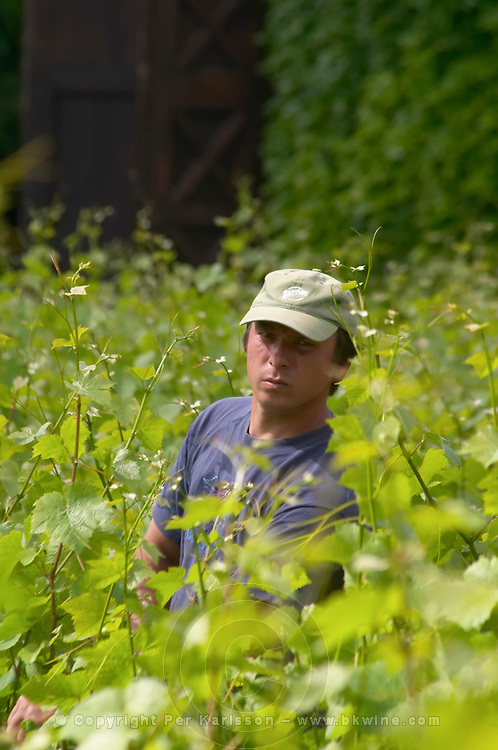 The vineyard in the garden behind the house. A vineyard worker between the vines wearing a cap, tying up the metal wires that support the vines, Champagne Jacquesson in Dizy, Vallee de la Marne, Champagne, Marne, Ardennes, France, low light grainy grain