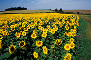 Sunflowers, Helianthus annuus, crop plants in field, against blue sky flowers flowerhead, Cambridgeshire, yellow