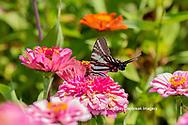 03006-00502 Zebra Swallowtail (Protographium marcellus) on Zinnia Union Co. IL
