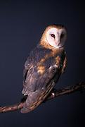 A captive barn owl (Tyto alba) photographed in studio, Portland, Oregon.