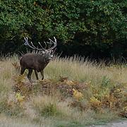 'Autumn red deer in Richmond Park'