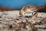 Dunlin (Calidris alpina) feeding. Photo from south-western Norway