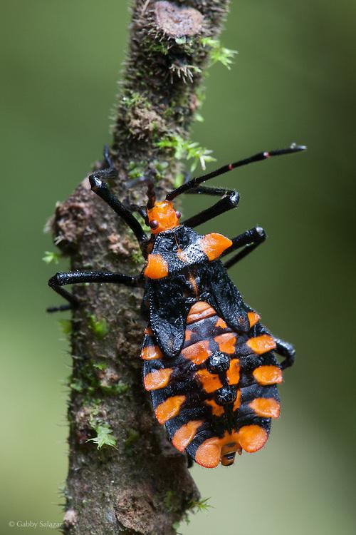 True bug (Order: Hemiptera). Bosque Nublado Santa Lucia, Ecuador.