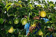 Marco_CE, Brasil.<br /> <br /> Plantacao de maracujas em Marco, Ceara.<br /> <br /> Passion fruit plantation in Marco, Ceara.<br /> <br /> Foto:  BRUNO MAGALHAES / NITRO