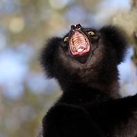 Anjozorobe, territoire de l'indri noir