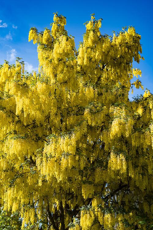 Laburnum tree,or golden chain / golden rain, in full bloom in England